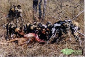 wild dog prey 2